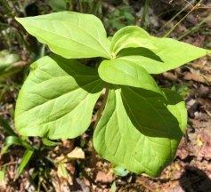 Wake Robin (Trillium erectum) With 6 Bracts