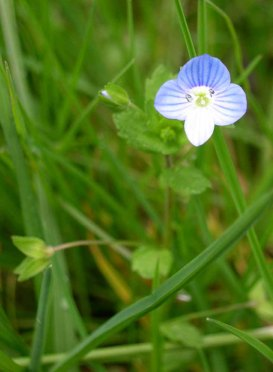 Persian or Bird's Eye Speedwell (Veronica persica*)