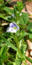 Thyme-leaved Speedwell (Veronica serpyllifolia*)
