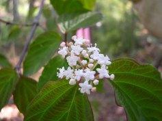 a Viburnum (Viburnum sp.)