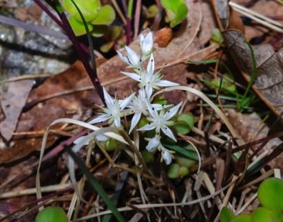 Wild Stonecrop (Sedum ternatum)