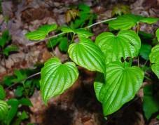 Wild Yam (Dioscorea villosa)