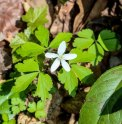 Wood Anemone (Anemone quinquefolia)