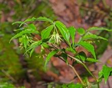 Yellow Mandarin; Fairy Bells (Prosartes lanuginosa)