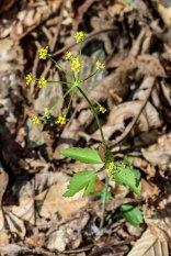 Yellow Meadow Parsnip (Thaspium trifoliatum var. aureum)