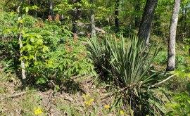 Yucca filamentosa (Yucca; Adam's Needle; Spanish Bayonet) & Painted Buckeye (Aesculus sylvatica)