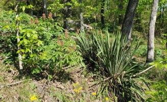 Yucca (Yucca filamentosa) & Painted Buckeye (Aesculus sylvatica)