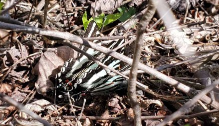Pair of Zebra Swallowtail Butterflies (Protographium marcellus)