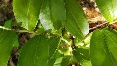 a Bellwort (Uvularia sp) Fruit