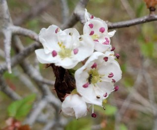 a Hawthorn (Crataegus sp.)