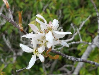 a Serviceberry (Amelanchier sp.)