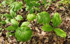 Appalachian Bunchflower (Veratrum parviflorum) & May Apple; Mandrake (Podophyllum peltatum)