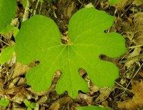 Bloodroot (Sanguinaria canadensis)