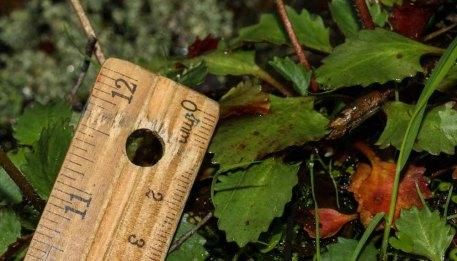 Carey's Saxifrage (Micranthes careyana)