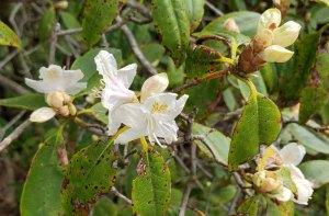 Carolina Azalea (Rhododendron minus var. minus)
