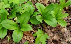 Clinton's Lily, White Clintonia (Clintonia umbellulata)