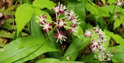Clinton's Lily, a Very Speckled Wood Lily (Clintonia umbellulata)