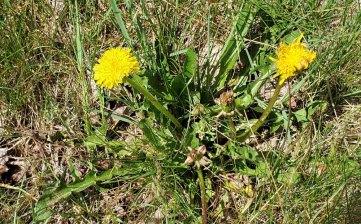 Common Dandelion (Taraxacum officinale*)