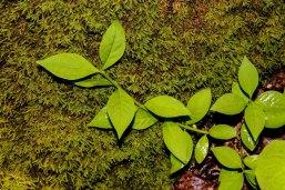 Trailing Strawberry Bush (Euonymus obovatus)