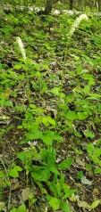 Fairy Wand; Devil's Bit; Blazing Star (Chamaelirium luteum) - Male Flowers