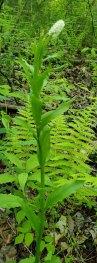 Fairy Wand; Devil's Bit; Blazing Star (Chamaelirium luteum) - Female Flowers