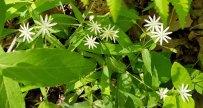 Giant or Star Chickweed (Stellaria pubera)
