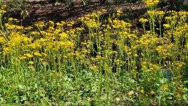 Golden Ragwort (Packera aurea)
