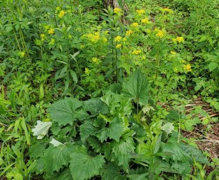 Hairy-jointed Meadow Parsnip (Thaspium barbinode) & Great Indian Plantain (Arnoglossum reniforme)