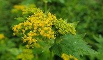 Hairy-jointed Meadow Parsnip (Thaspium barbinode) Bloom