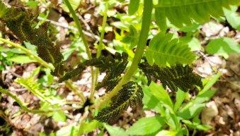 Interrupted Fern (Osmunda claytoniana) Fertile Pinnae