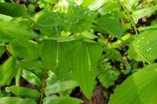 Large-flowered Bellwort (Uvularia grandiflora) Fruit