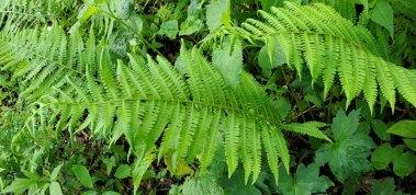 Silvery Glade Fern (Deparia acrostichoides)