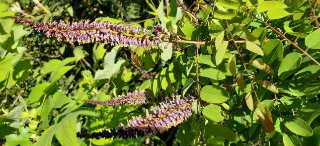 Mountain False Indigo (Amorpha glabra)