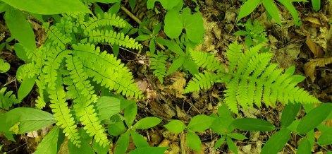 Northern Maidenhair Fern (Adiantum pedatum) & Broad Beech Fern (Phegopteris hexagonoptera)