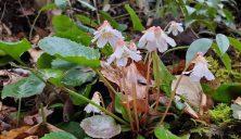 Oconee Bells; Shortia (Shortia galacifolia)