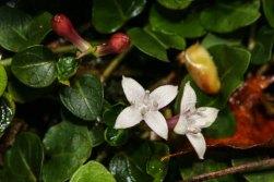 Partridge-berry (Mitchella repens)