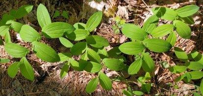 Pack of Perfoliate Bellwort (Uvularia perfoliata)
