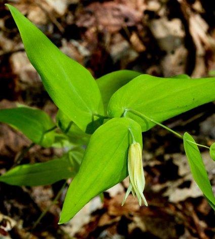 Perfoliate Bellwort (Uvularia perfoliata)