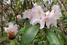 Possibly Piedmont Rhododendron (Rhododendron minus)