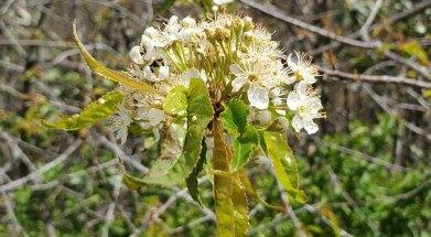 Pin Cherry; Fire Cherry (Prunus pensylvanica)