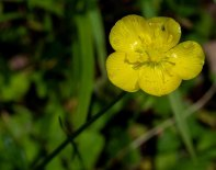 Possibly Bristly Buttercup (Ranunculus hispidus)