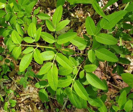 Hairy Angelica (Angelica venenosa)