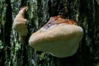 Possibly Hemlock Varnish Shelf Mushroom (Ganoderma tsugae)