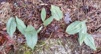 Puttyroot (Aplectrum hyemale)