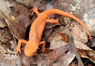 Red Eft - Terrestrial Stage of the Red-spotted Newt (Notophthalmus viridescens)