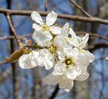 Serviceberry (Amelanchier sp.)