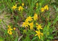 Small's Ragwort (Packera anonyma)