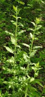 Smooth False Foxglove (Aureolaria flava)