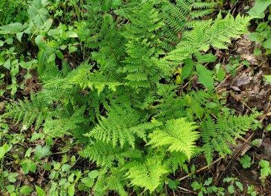 Southern Lady Fern (Athyrium filix-femina ssp. asplenioides)