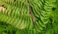 Southern Lady Fern (Athyrium filix-femina ssp. asplenioides) Sori